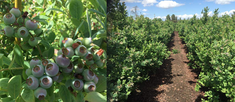 Purewal-blueberry-farms