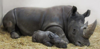Newly born white rhino cub with mom in Toronto zoo