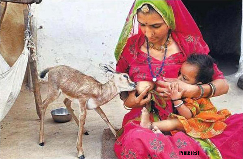 Bishnoi woman breastfeeding blackbuck baby