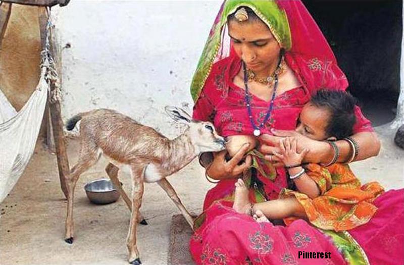 Bishnoi woman breastfeeding blackbuck baby